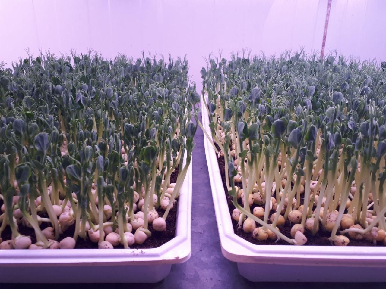 Study finds microgreens are a perfect match for aquaponics